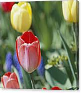 Close View Of Spring Tulips In Bloom Canvas Print