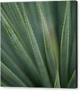 Close View Of The Leaves Of A Sotol Canvas Print