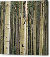 Close View Of Tree Trunks In A Stand Canvas Print