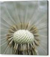 Closeup Of Dandelion Seed Head Canvas Print
