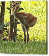 Closeup Of Sandhill Baby Canvas Print