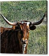 Closeup Of Texas Longhorn Canvas Print