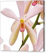 Closeup Pink Orchid Canvas Print