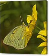 Clouded Sulphur Butterfly Din099 Canvas Print