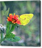 Clouded Sulphur Butterfly Square Canvas Print