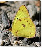 Clouded Sulphur Canvas Print