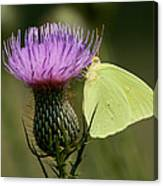 Cloudless Sulfur Butterfly On Bull Thistle Wildflower Canvas Print