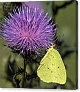 Cloudless Sulphur Butterfly Din159 Canvas Print