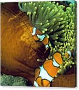 Clown Anemonefish Canvas Print
