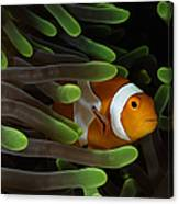 Clownfish In Green Anemone, Indonesia Canvas Print