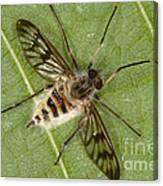 Cluster Fly Killed By Parasitic Fungus Canvas Print