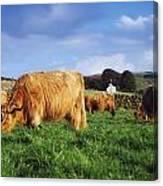 Co Antrim, Ireland Highland Cattle Canvas Print