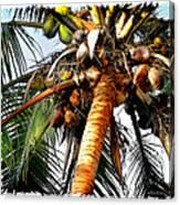 Cocoanuts Squared Canvas Print