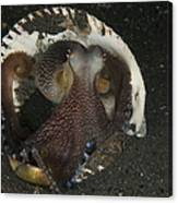Coconut Octopus In Shell, North Canvas Print