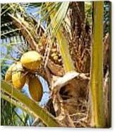 Coconuts 1 Canvas Print