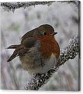Cold Robin Canvas Print