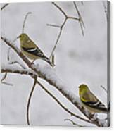 Cold Yellow Finch Walk Canvas Print