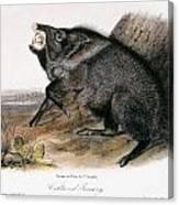 Collared Peccary, 1846 Canvas Print