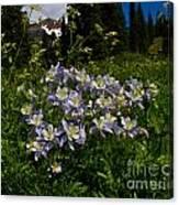 Colorado Blue Columbine At Lake Irwin Canvas Print
