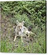 Colorado Coyote Canvas Print