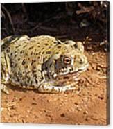 Colorado River Toad Canvas Print