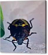 Colorful Hemiptera Nymph 1 Canvas Print