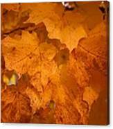 Colorful Maple Leaves In Fall Canvas Print
