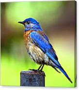 Colorful - Western Bluebird Canvas Print
