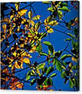 Colors Of The Autumn Elm Canvas Print