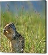 Columbia Ground Squirrel Feeding Canvas Print