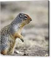 Columbian Ground Squirrel, Banff Canvas Print