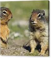 Columbian Ground Squirrels, Banff Canvas Print