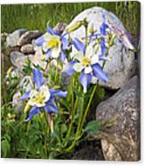 Columbine Colorado State Flower Canvas Print