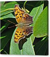 Comma Anglewing Butterfly - Polygonia C-album Canvas Print