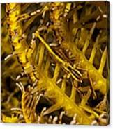 Commensal Shrimp Canvas Print