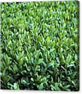 Common Box (buxus Sempervirens) Canvas Print