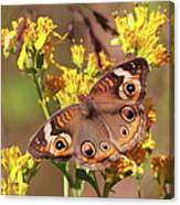 Common Buckeye  Canvas Print
