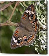 Common Buckeye Butterfly Din182 Canvas Print