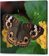 Common Buckeye Canvas Print