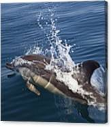 Common Dolphin Delphinus Delphis Canvas Print