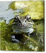 Common Frog Canvas Print
