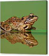 Common Frog Rana Temporaria Canvas Print