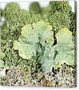 Common Greenshield Lichen Canvas Print