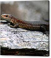 Common Lizard Canvas Print