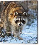 Common Raccoon Canvas Print