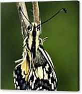 Common Swallowtail Butterfly Canvas Print