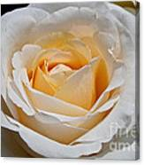 Common Wealth Glory Rose Canvas Print