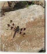 Common Whitetail Dragonfly Canvas Print