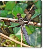 Common Whitetail Dragonfly - Plathemis Lydia - Male Canvas Print