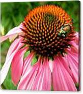 Cone Flower And Guest Canvas Print